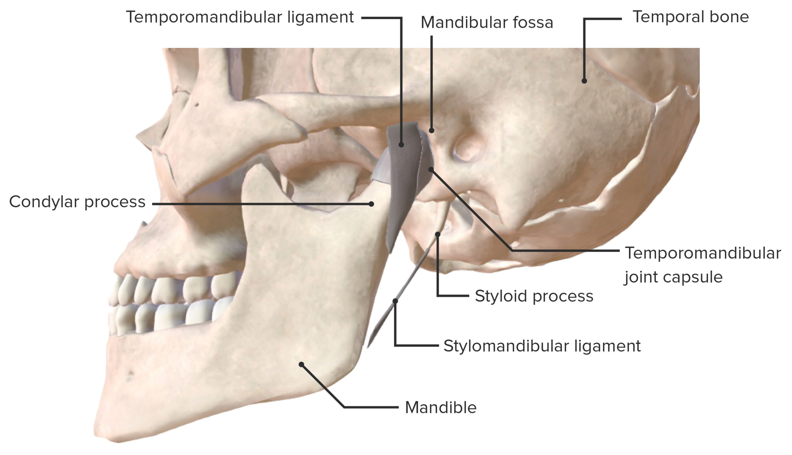 Lateral view of the temporomandibular joint and supporting ligaments