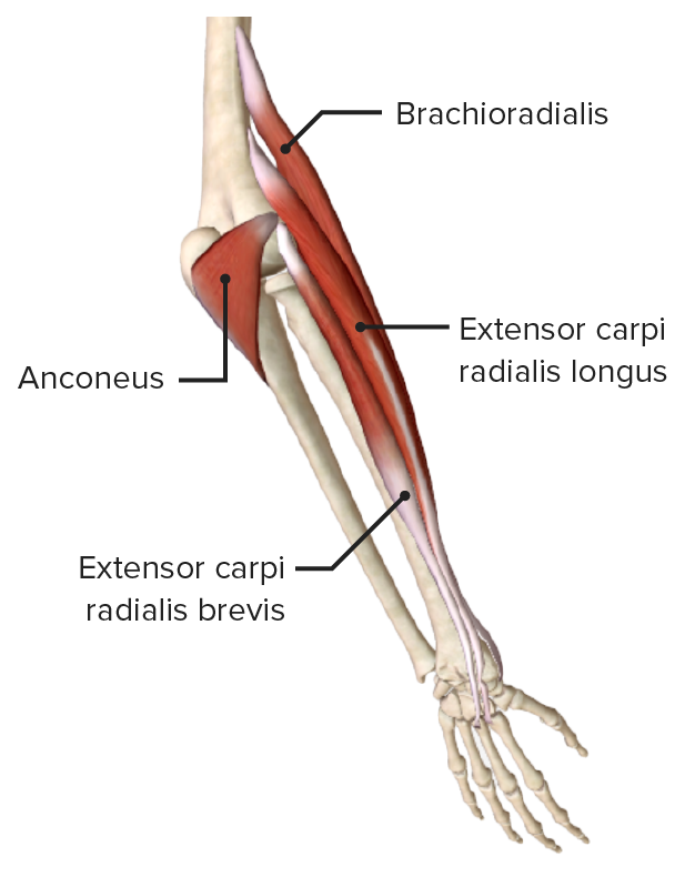 Lateroposterior view of the right forearm