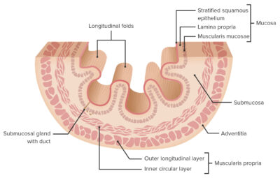 Layers of the esophageal wall