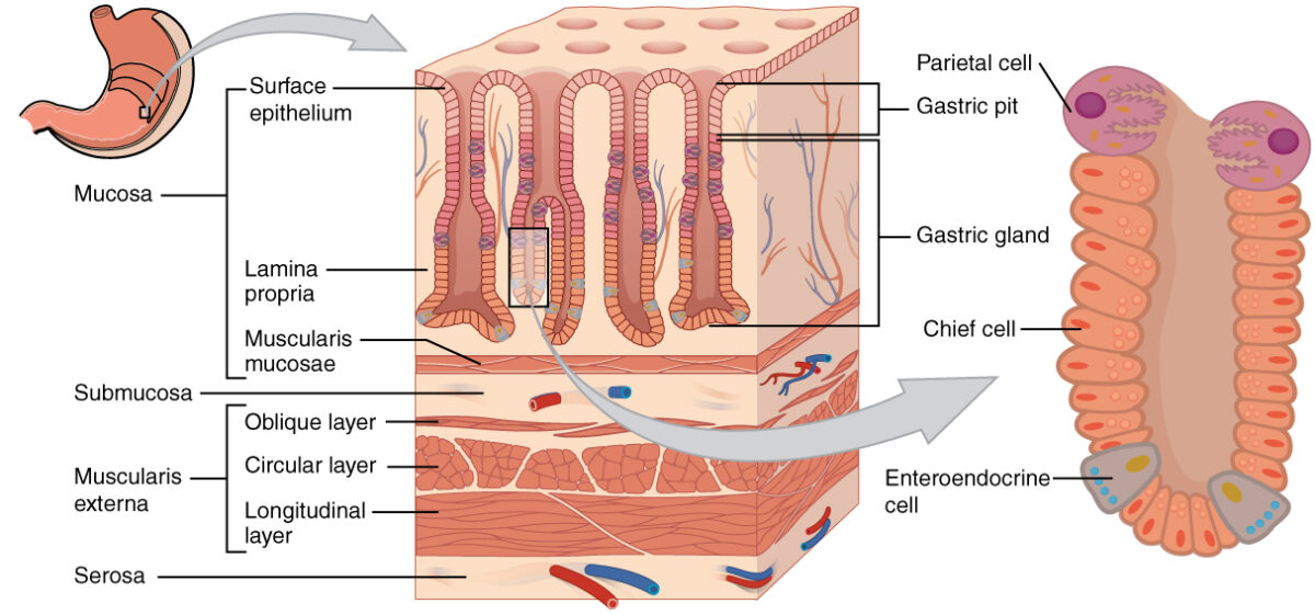 Layers of the stomach wall