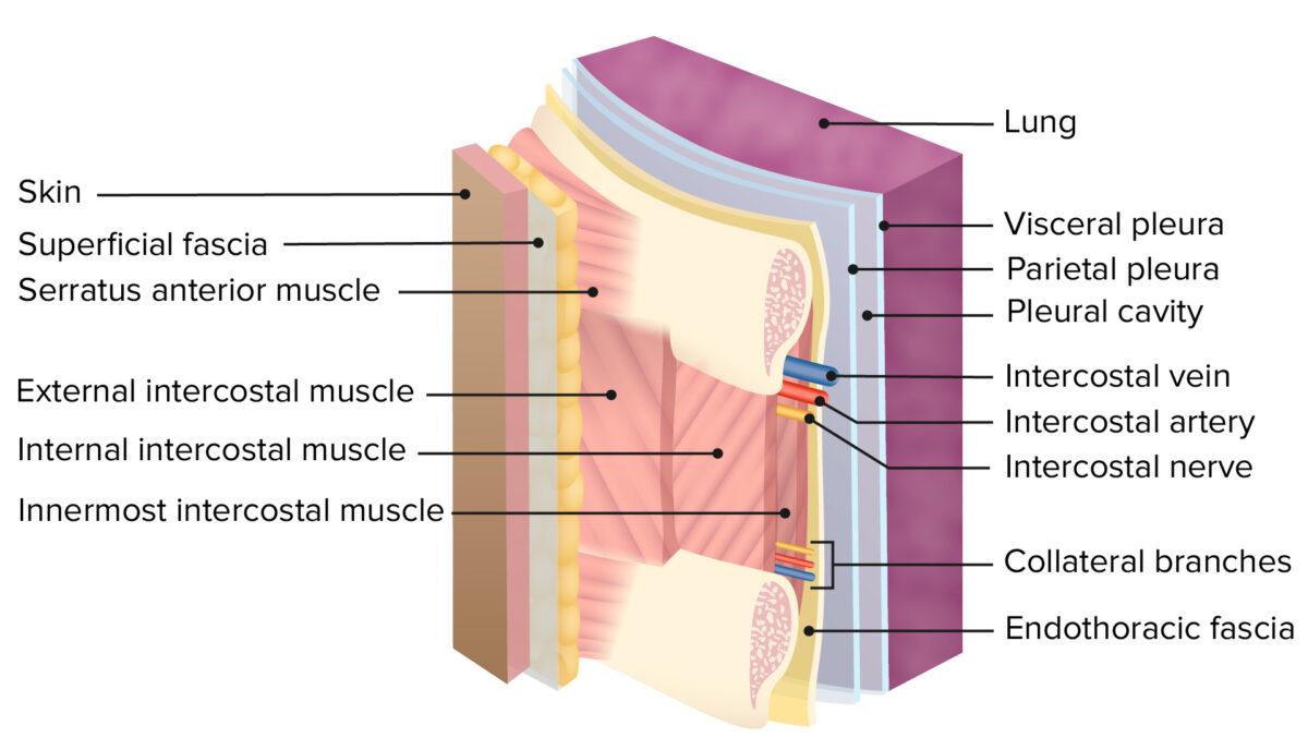 Layers of thoracic wall - intercostal neurovascular bundle