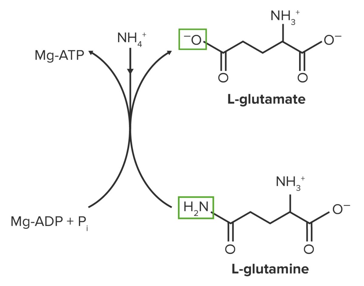 Glutamine synthesis