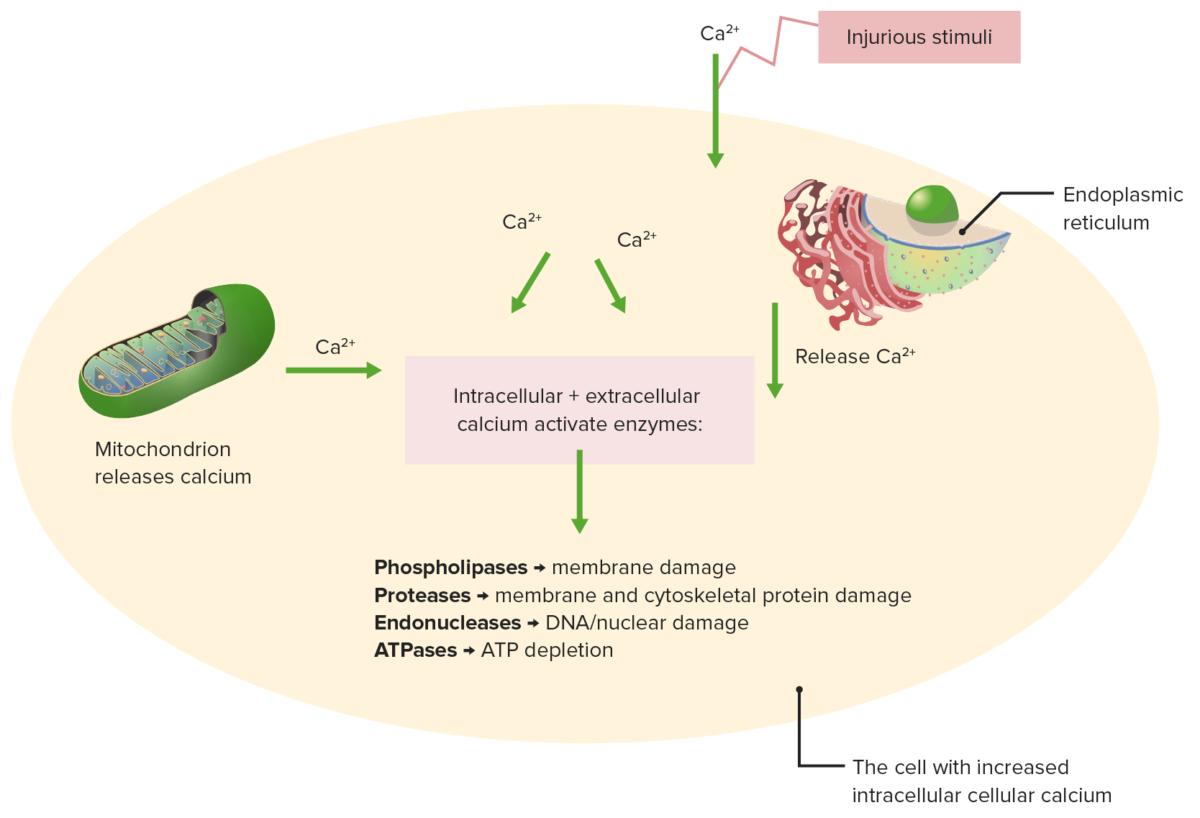 Mechanisms calcium