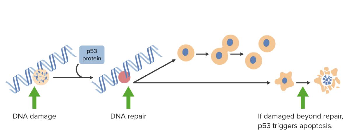 DNA damage activates p53
