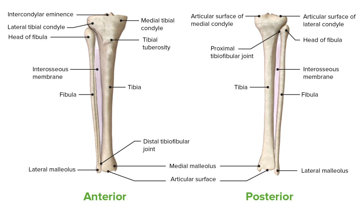 Leg Anterior and Posterior view