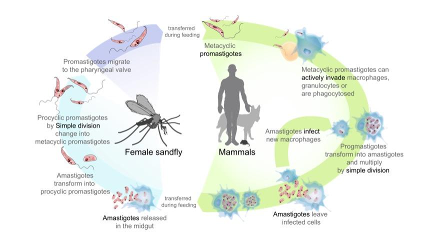 Leishmaniasis life cycle