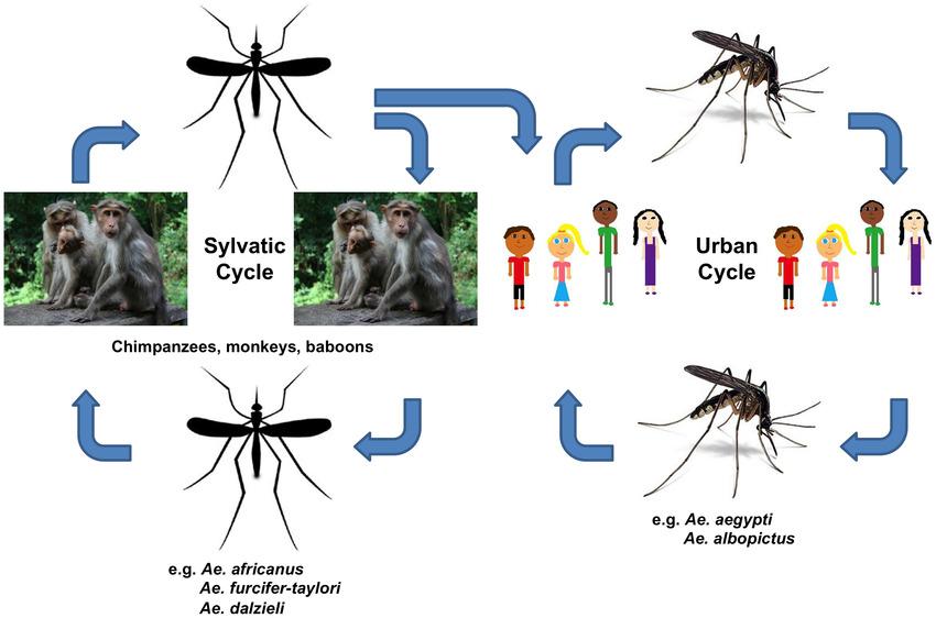 Life cycle of Chikungunya virus
