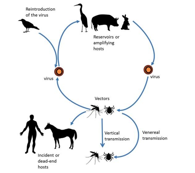 Life cycle of arboviruses