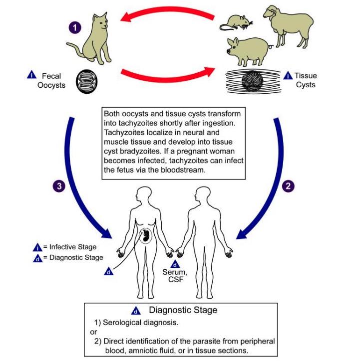 Life cycle of toxoplasma gondii
