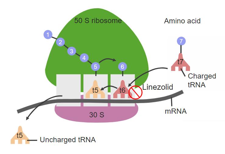 Linezolid site of action Oxazolidinones