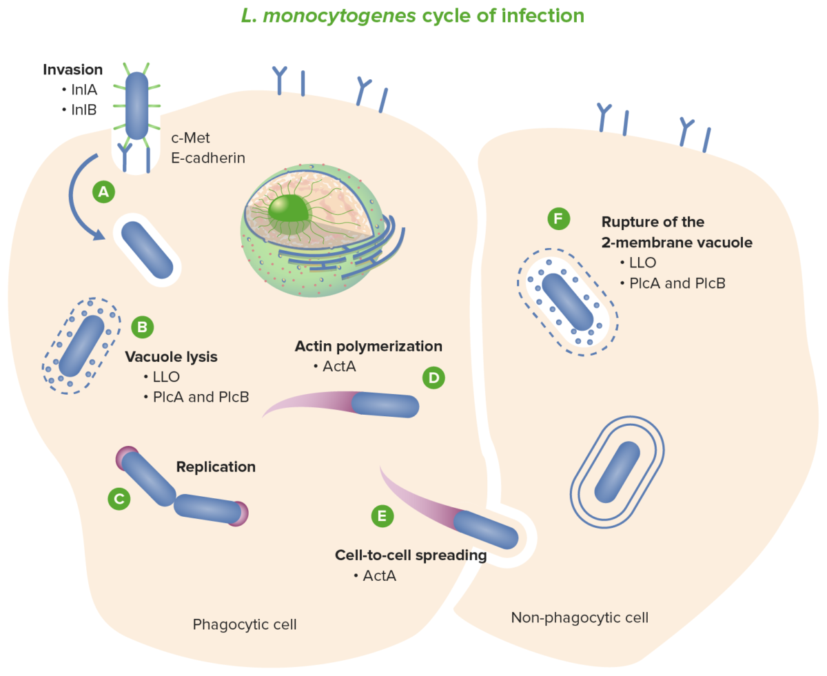 Listeria cycle of infections