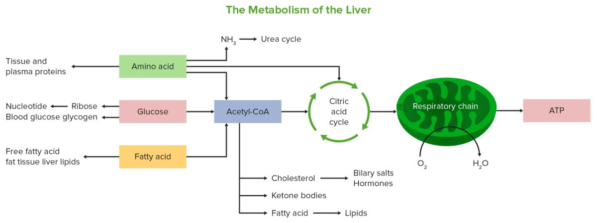 Liver metabolism diagram