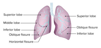 Lobes and fissures of the lungs