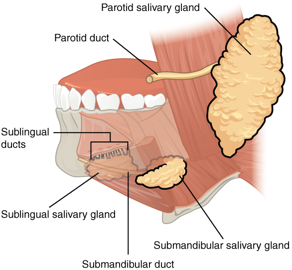 Location of the major salivary glands and their ducts