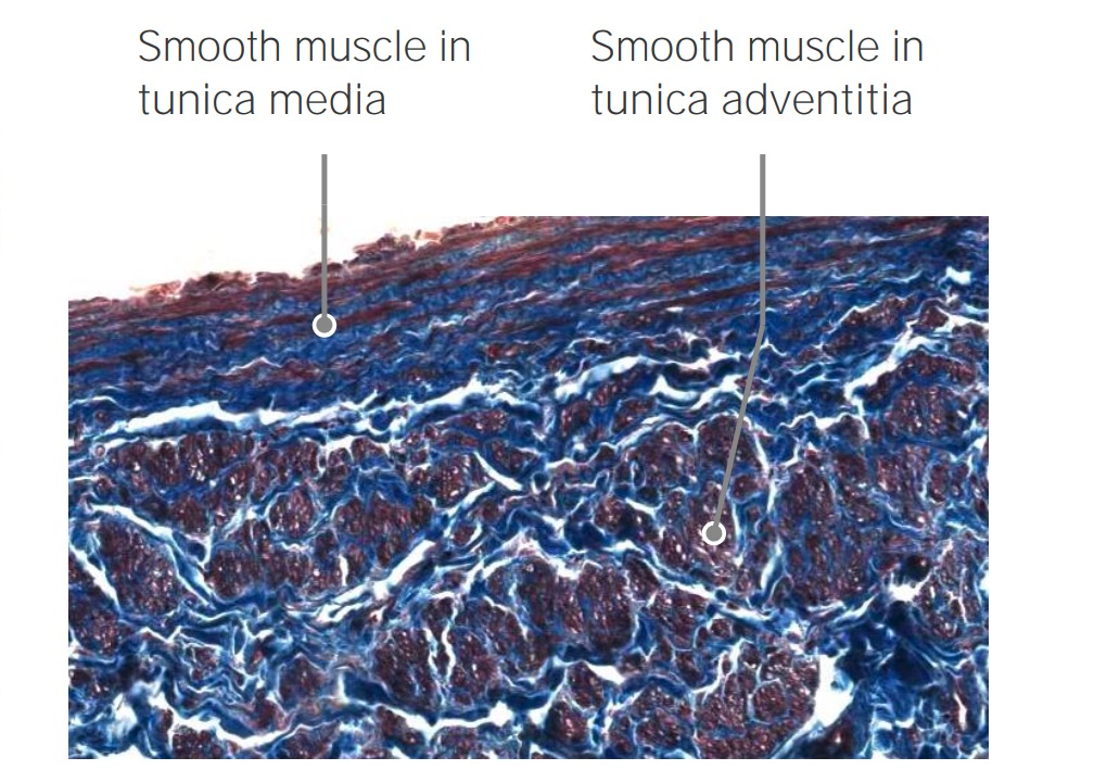 Longitudinal smooth muscles of Vena Cava