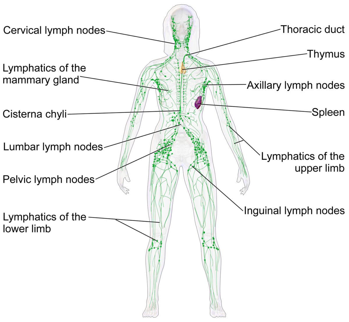 Lymph nodes and the lymphatic system