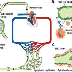 Lymph transport along lymphatic vessels