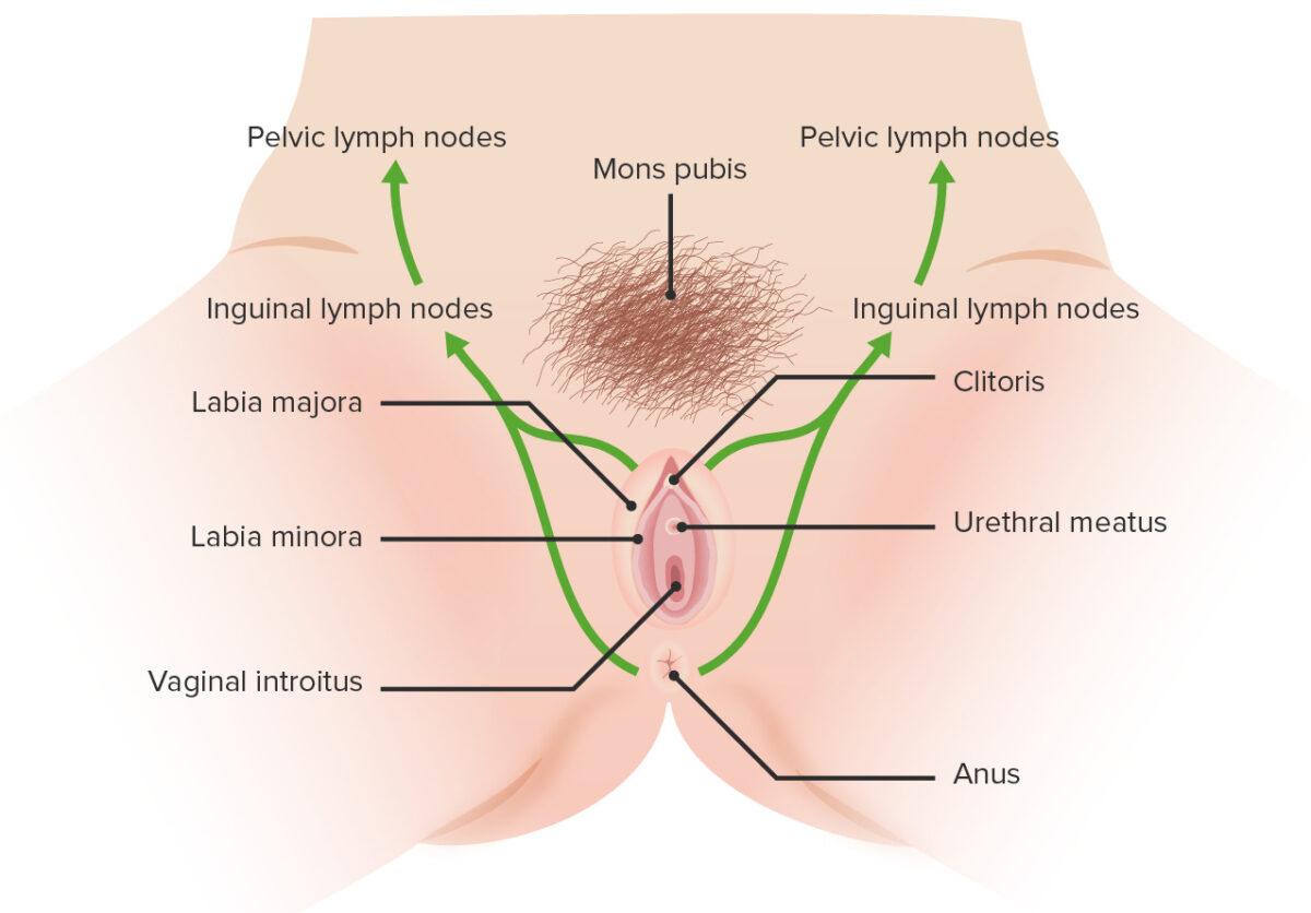 Lymphatic drainage of the vulva