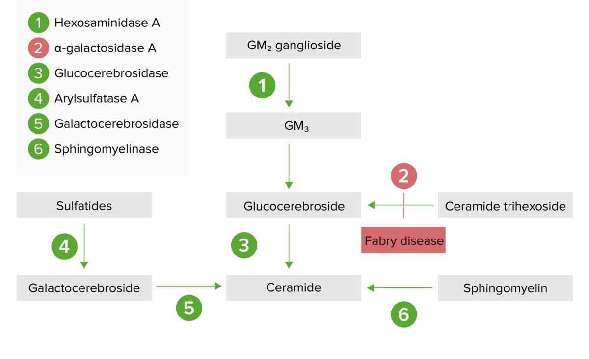 Lysosomal storage pathway 2