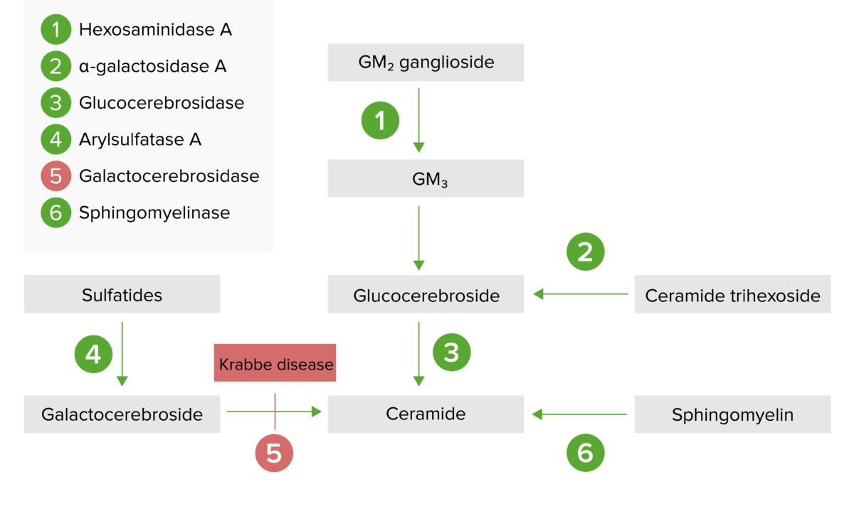 Lysosomal storage pathway diagram