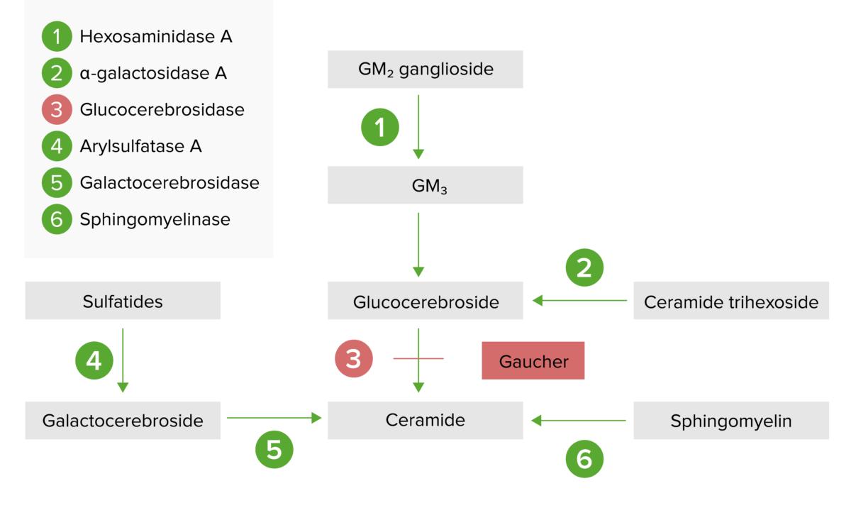 Lysosomal storage pathway for Gaucher disease