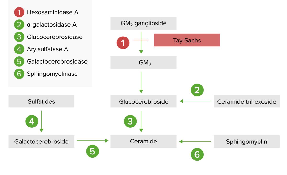 Lysosomal storage pathway for Tay-Sachs disease