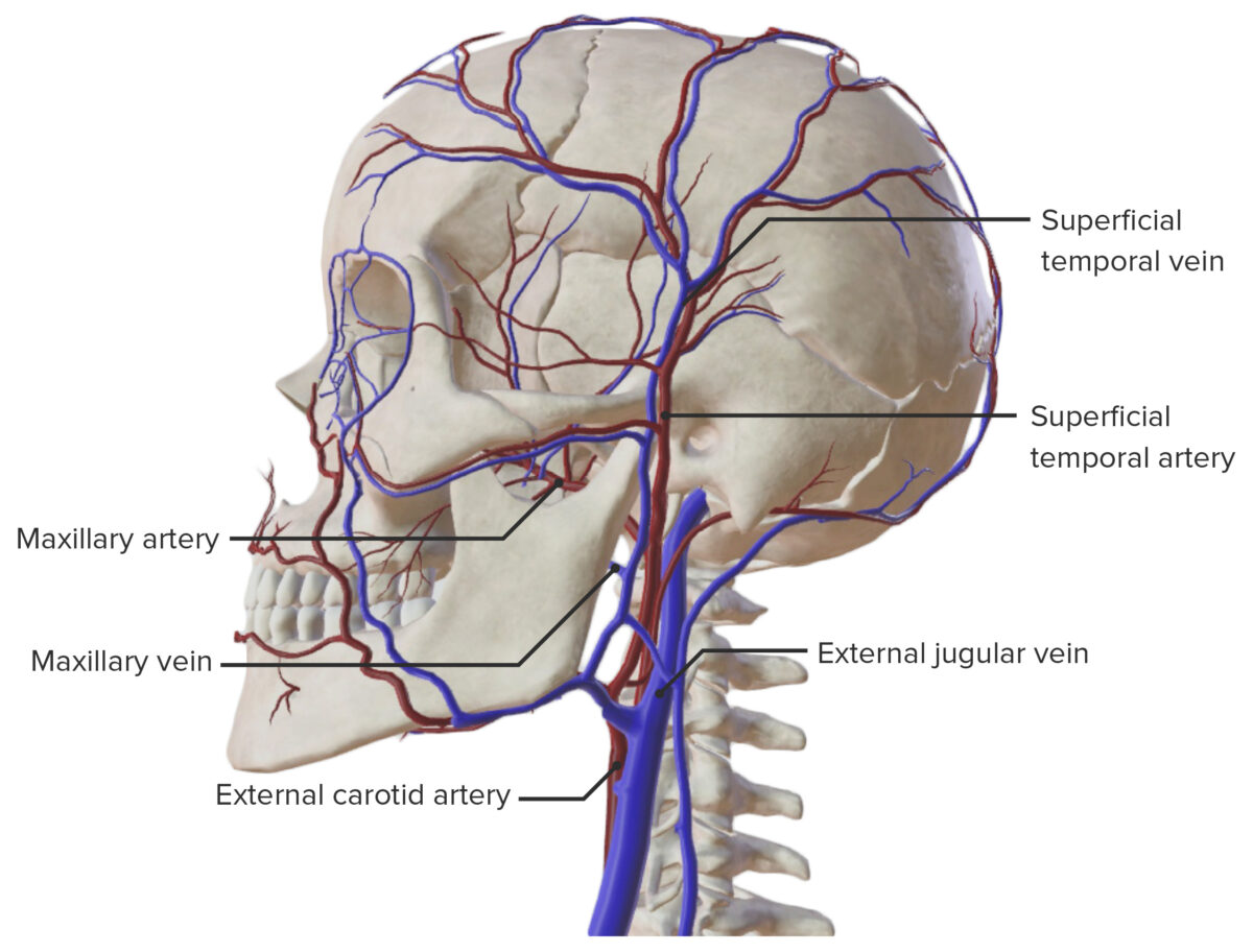 Lateral view of the major arteries and veins of the skull