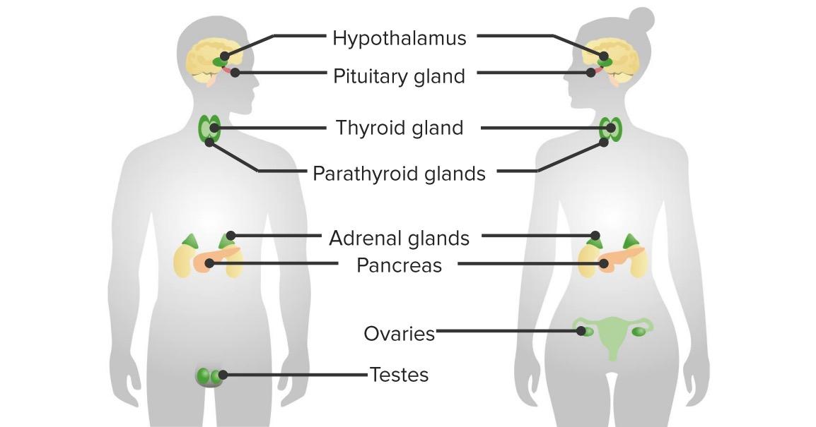 Major organs of the endocrine system