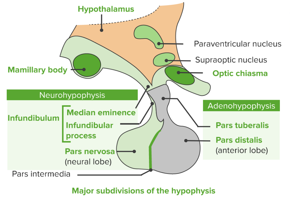 Major subdivisions of the pituitary gland hypophysis