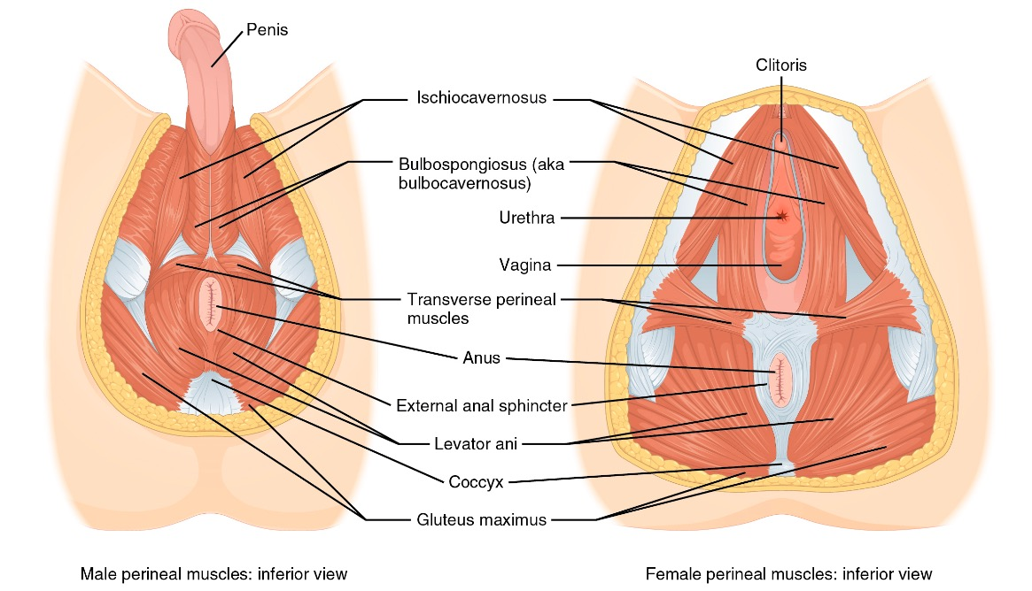 Male and female perineum muscles