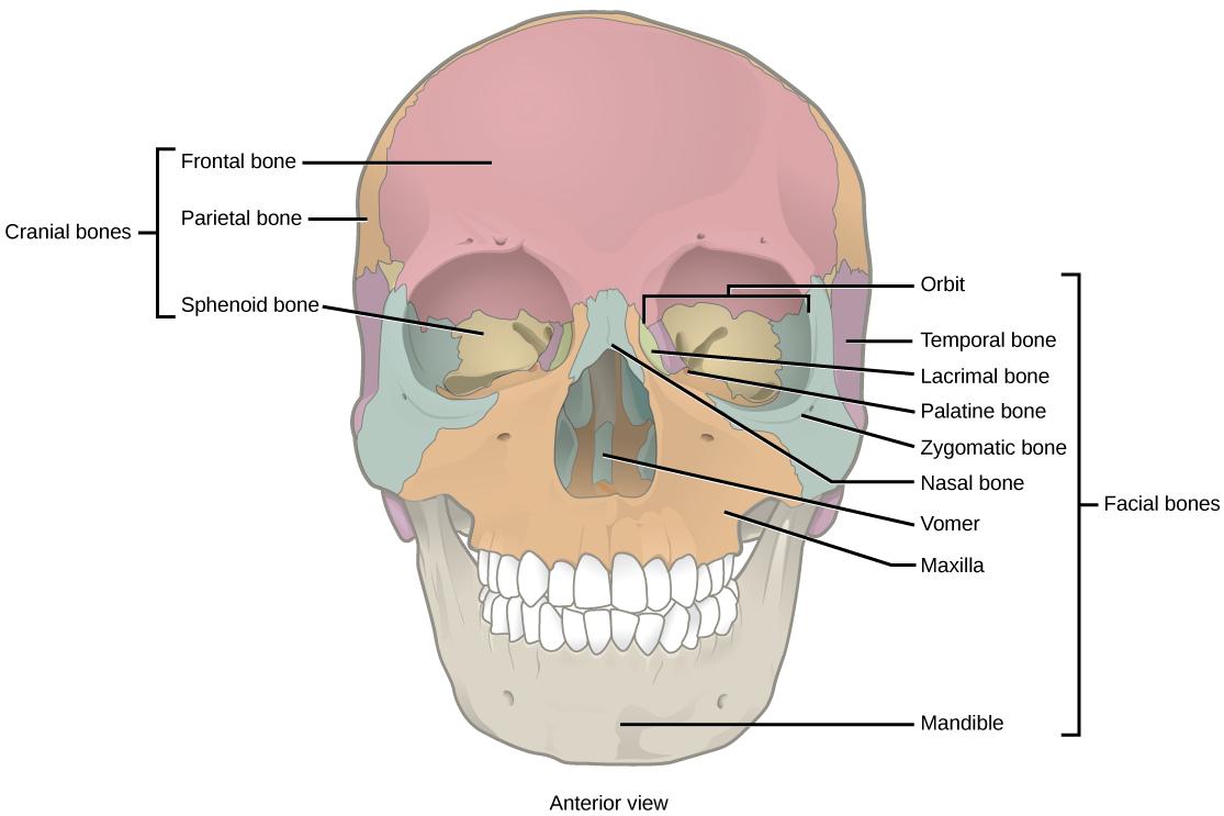 Maxilla, mandible, and temporal bone