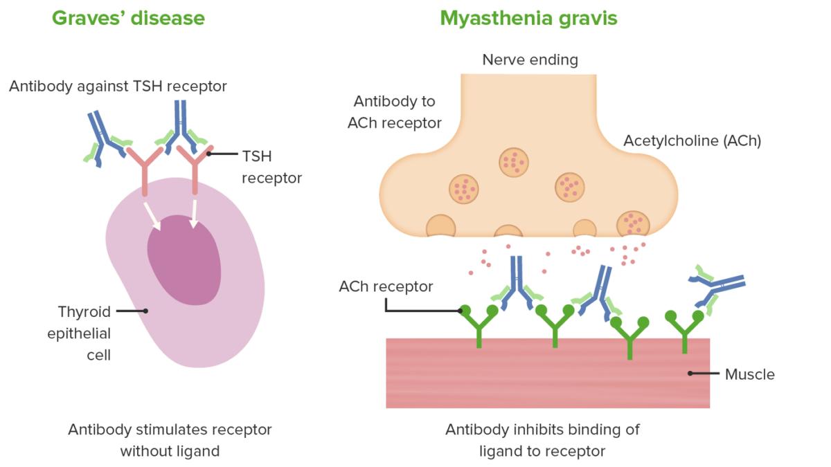 Mechanism of Grave's disease and Myasthenia gravis