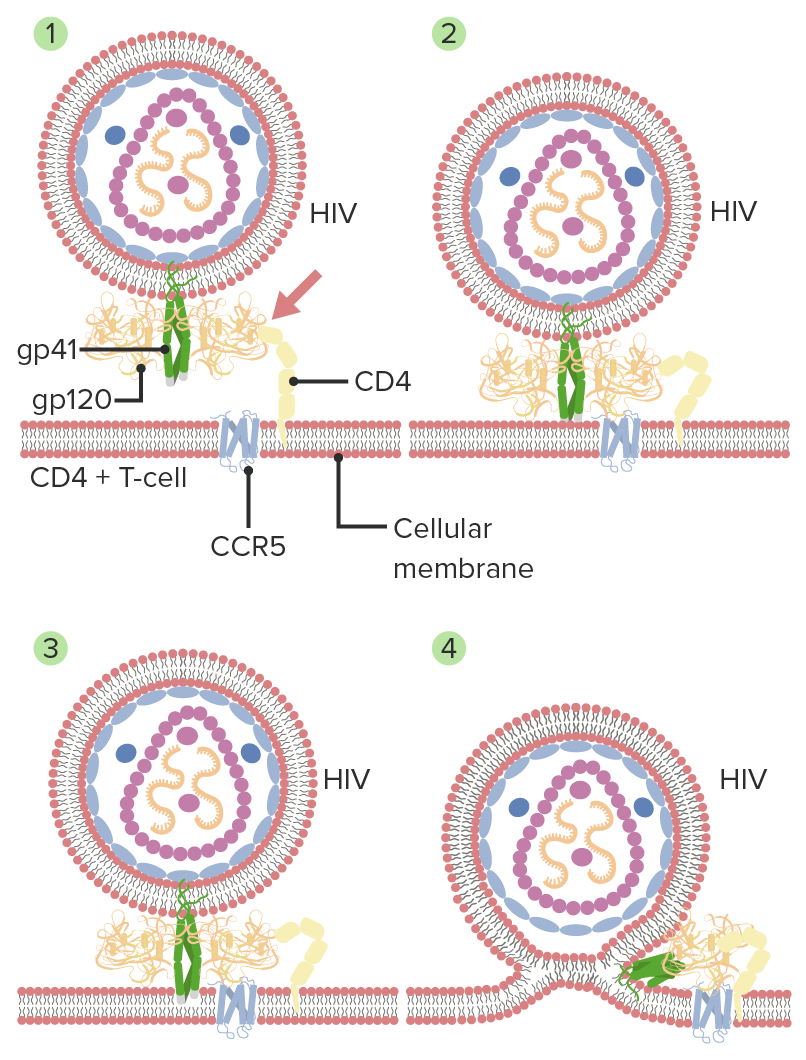 Mechanism of HIV entry and membrane fusion