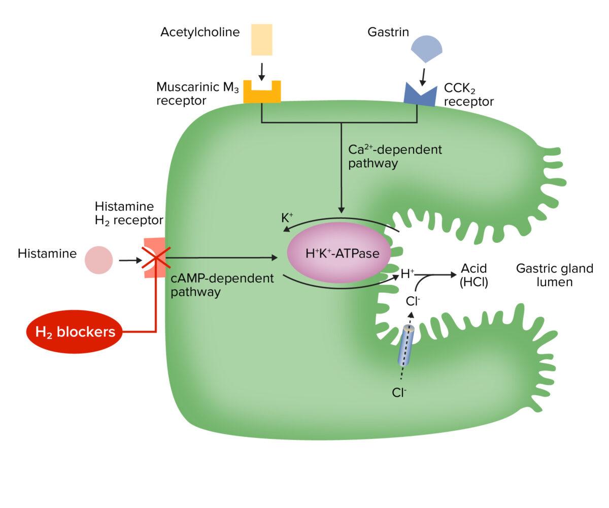 Mechanism of action for H2 receptor antagonists