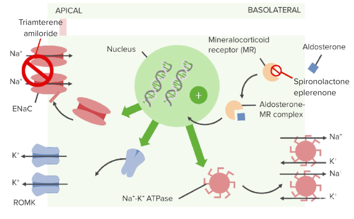Mechanism of action of aldosterone antagonists and sodium channel blockers