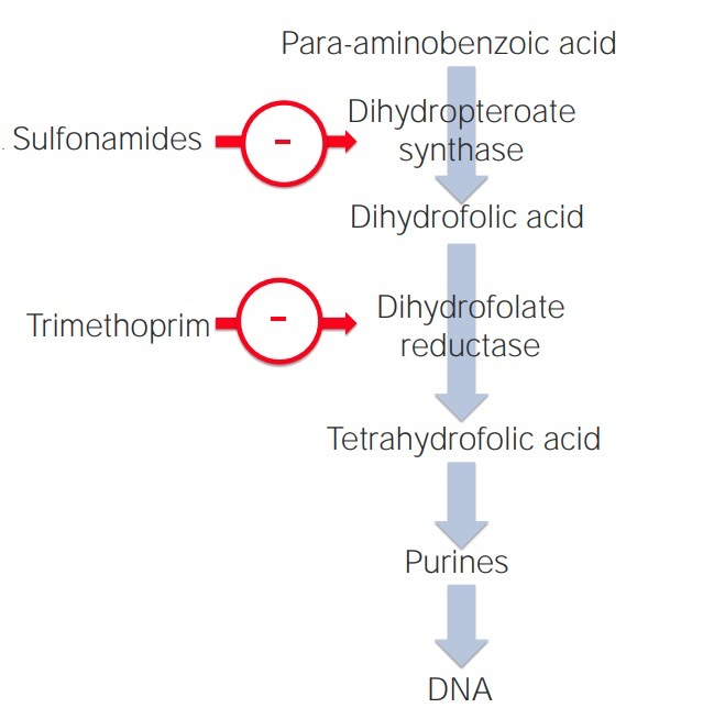 Mechanism of action of sulfonamides and trimethoprim in the folic acid pathway