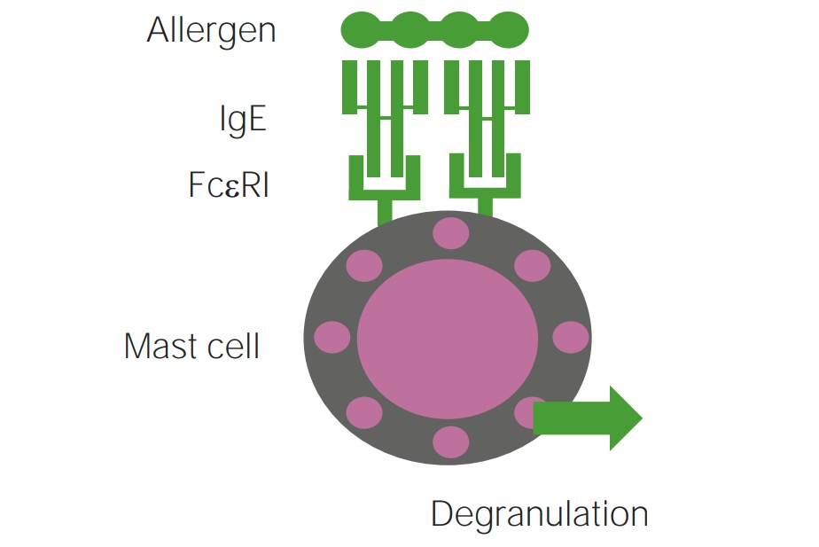 Mechanism of type 1 hypersensitivity reaction involved in IgE mediated urticarias