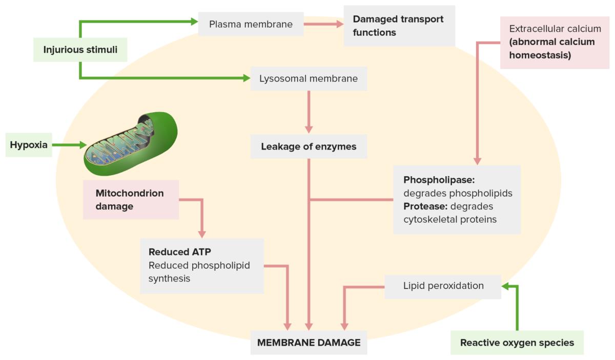Mechanisms membrane