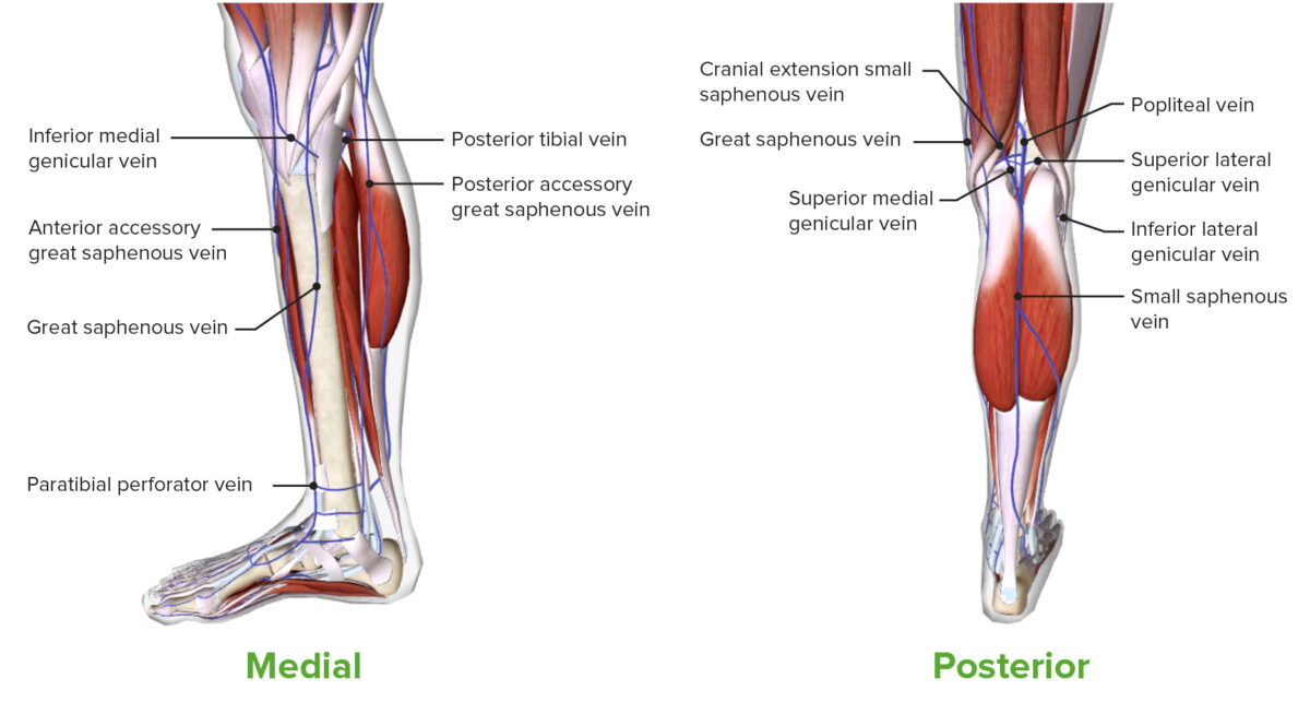 Medial and Posterior view of the leg featuring the venous drainage of the leg