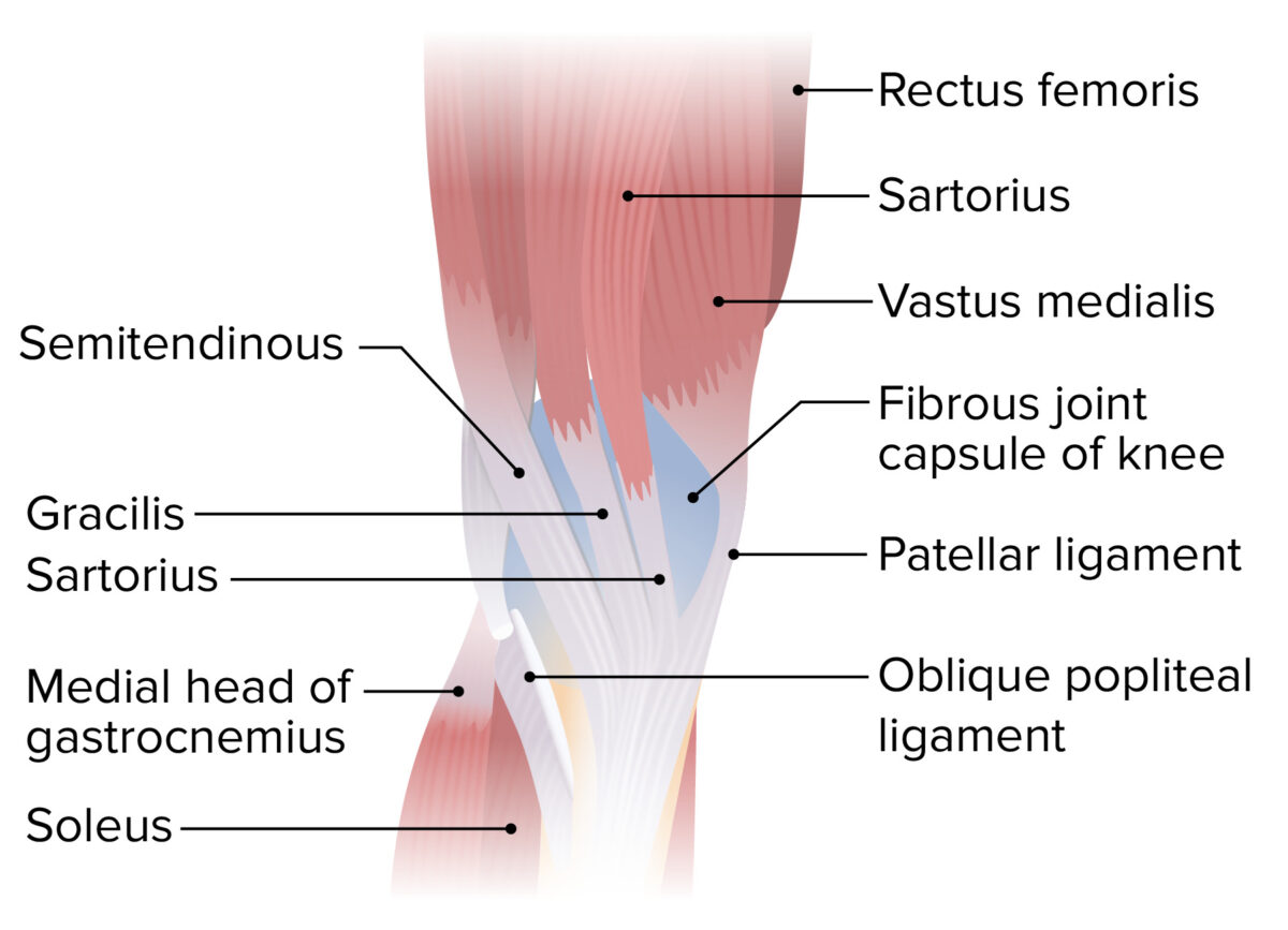 Medial view of the lower thigh and knee joint