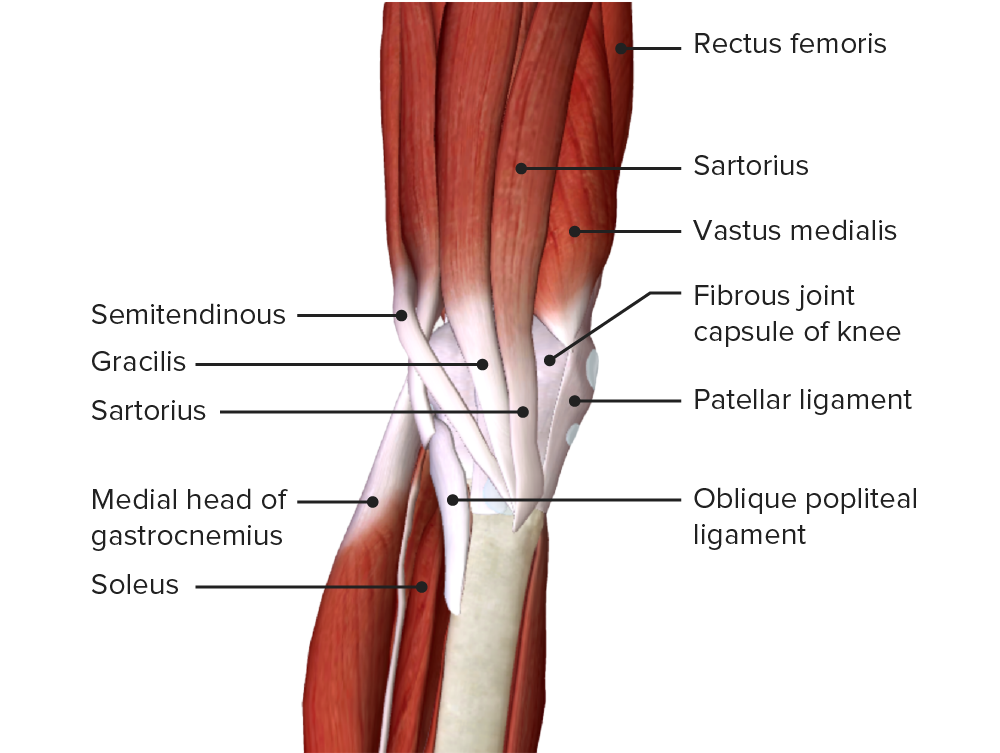 Medial view of the lower thigh and knee joint featuring the insertion of the sartorius