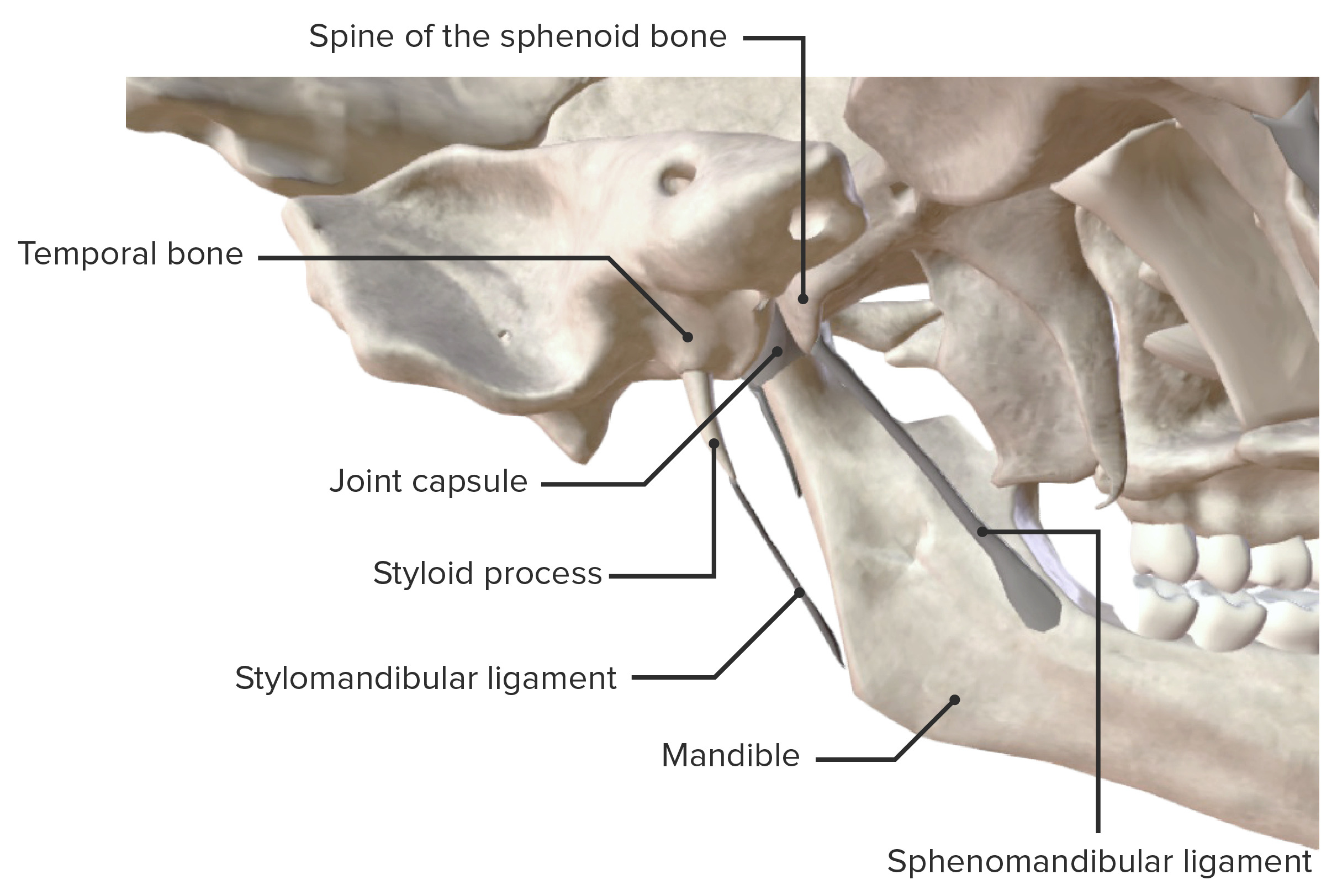 Medial view of the temporomandibular joint and supporting ligaments