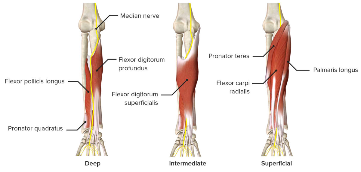 Median nerve as it passes through the anterior forearm