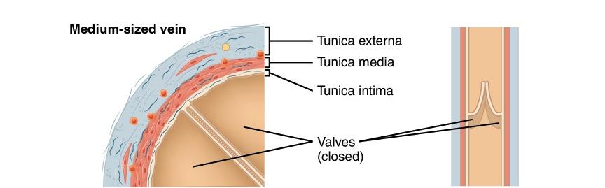 Medium sized vein