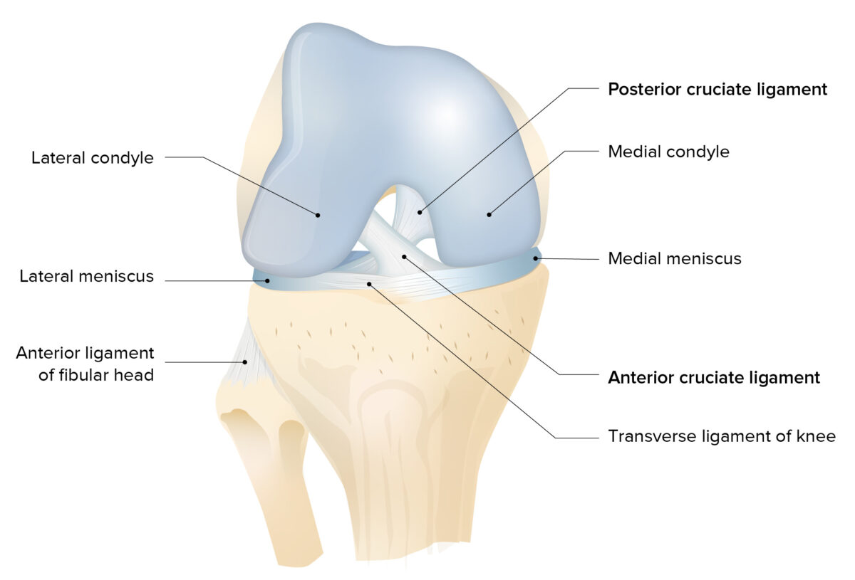 Menisci and articular surfaces of the knee