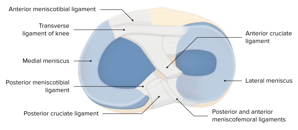 Menisci of the knee