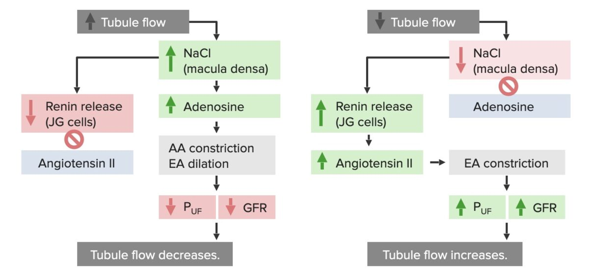 Metabolic responses of the kidney to high and low tubule flow