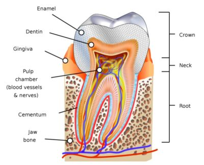 Micro parts of a tooth