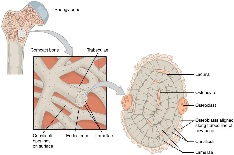 Microscopic structure of spongy bone