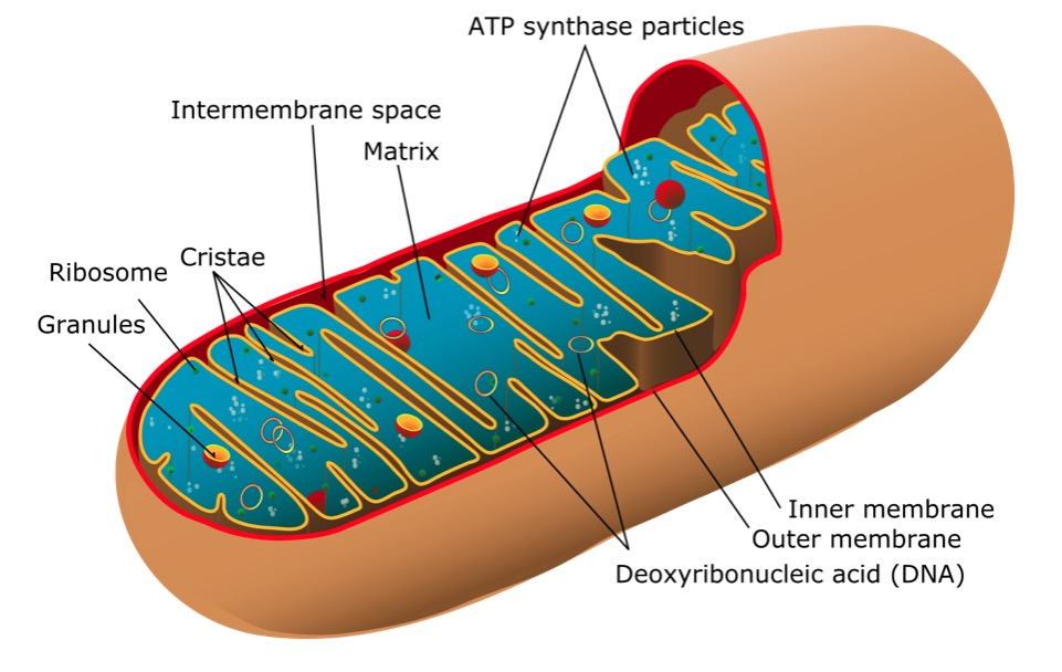 Mitochondrion of the eukaryotic cell